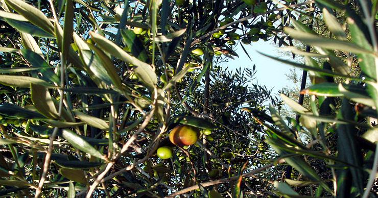 Olio Extravergine LuMè olive
