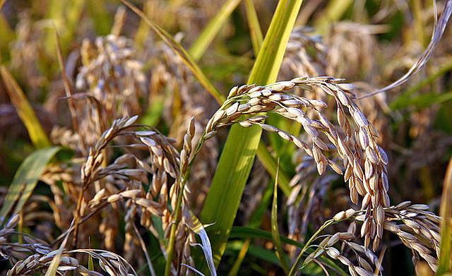 riso della sardegna spighe