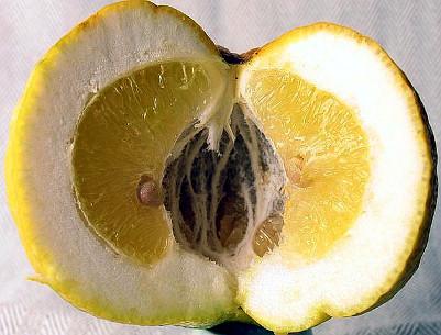 Pompia frutto