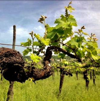 Gaia 2014 Cantina Giardino vigne