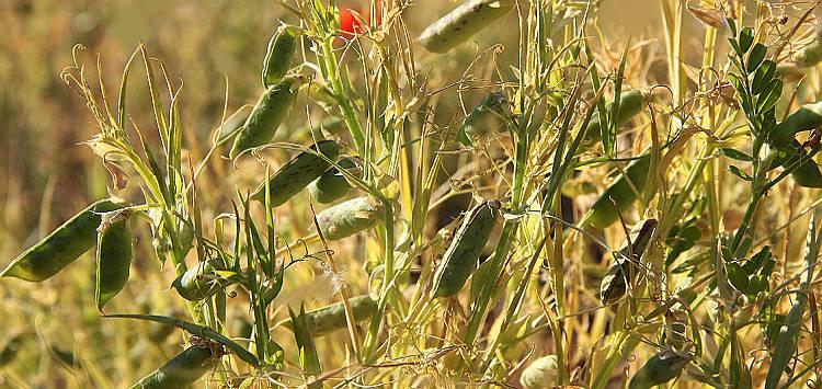 Maracuoccio piante