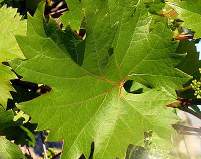 villard blanc leaf