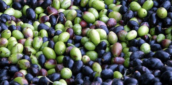 Oliva salella ammaccata del Cilento olive salella