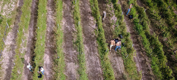 Vespolina in purezza vista vigne dall'alto
