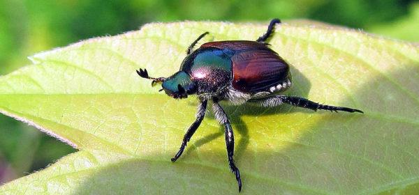 Cinghiolo popilia japonica donatello rinaldi