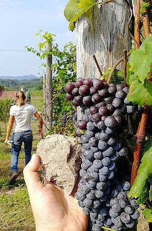 Cinghiolo uva sasso donatello rinaldi