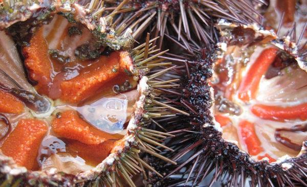 ricci di mare aperti pronti da mangiare serena manzoni