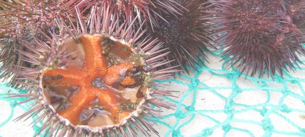 ricci di mare pescati e aperti serena manzoni