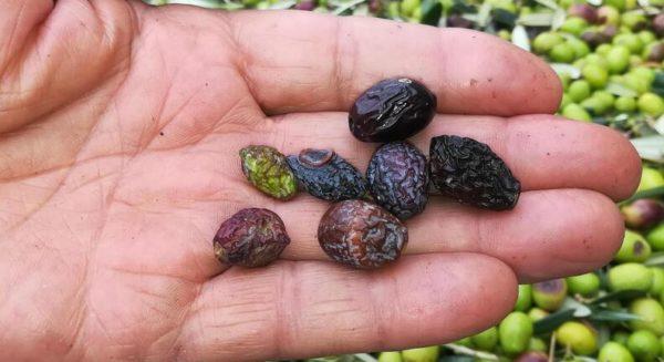 il buon olio del mio piccolo oliveto olive da non molire