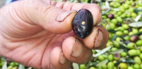 il buon olio del mio piccolo oliveto primo piano bel foro del verme