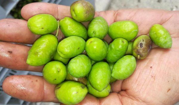 il buon olio del mio piccolo oliveto olive in primo piano