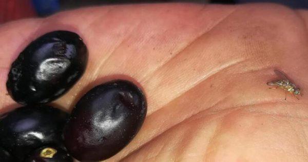 il buon olio del mio piccolo oliveto mosca olearia