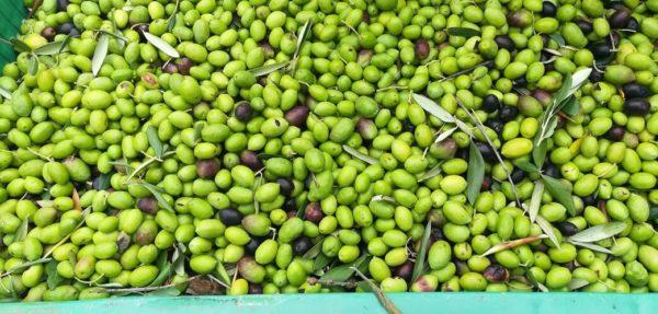 il buon olio del mio piccolo oliveto olive verdi
