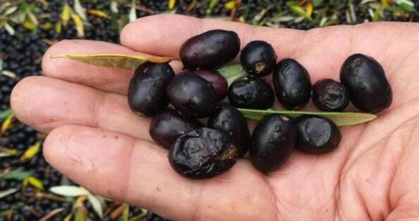 il buon olio del mio piccolo oliveto