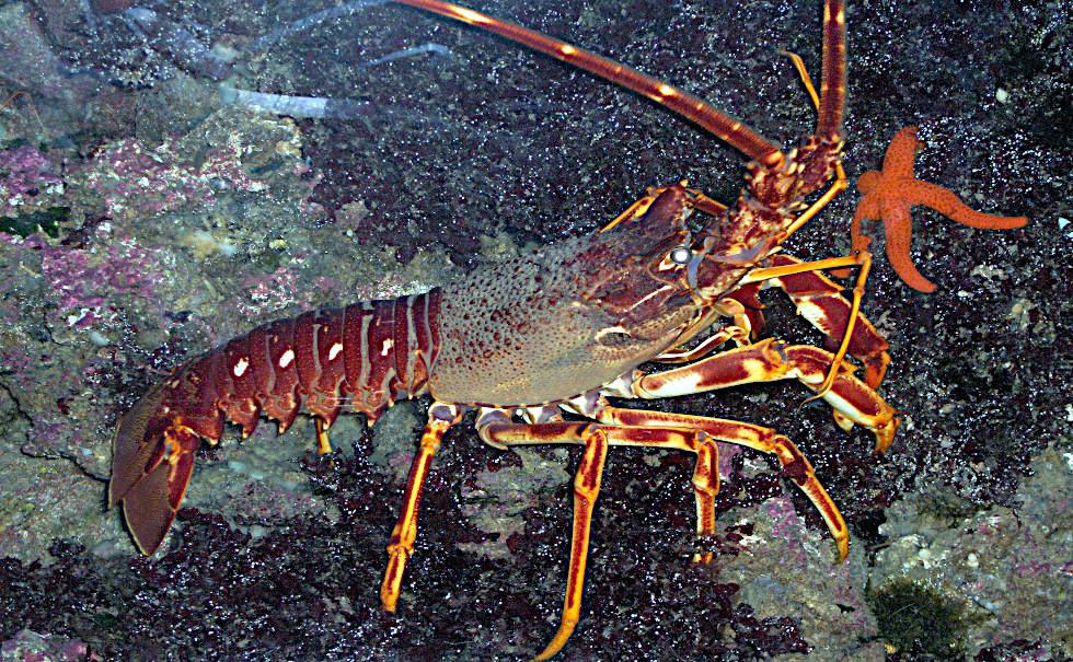 all'aragosta sono spuntate le chele aragosta mediterranea in acqua
